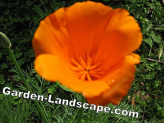 Gold poppy, California poppy - sowing and care
