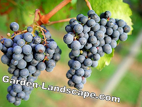 Grape vines, grapes