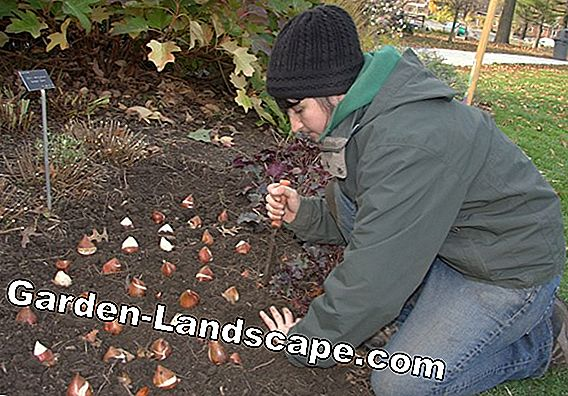Planting bird cherry - tips on location, soil and planting