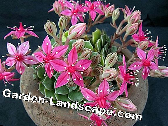 Graptopetalum tacitus bellus - care and propagation by offshoot