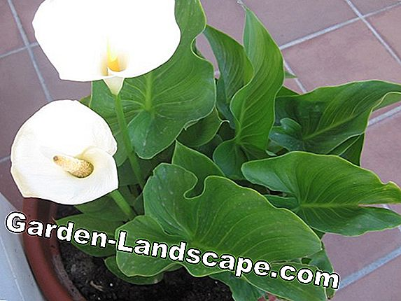 Green lily - Care & propagation with offshoots