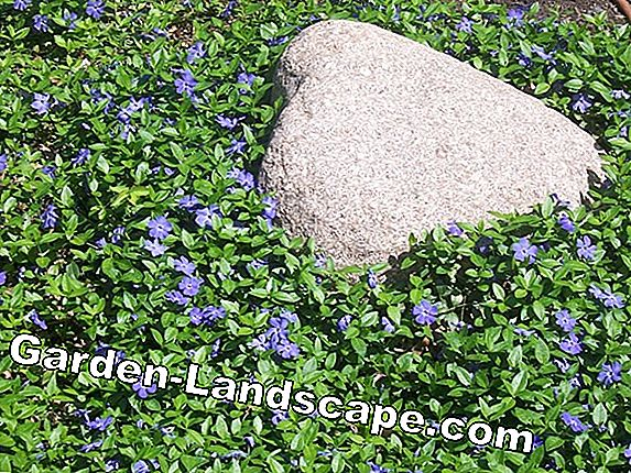 Large evergreen, Vinca major - care and cutting