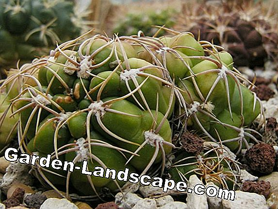 Gymnocalycium Cacti - Species / Species and Care