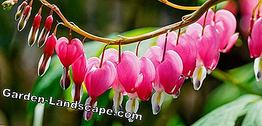 Heart flower, Dicentra - care