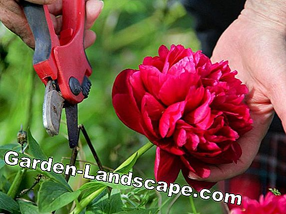 Cut back the perennial peonies