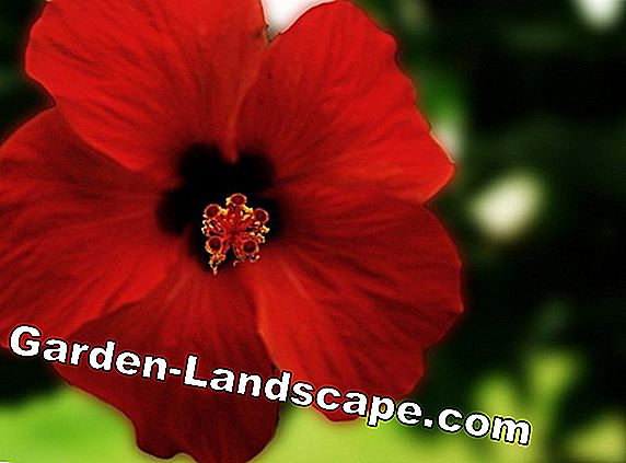 Hibiscus - basics for successful care of the garden hibiscus