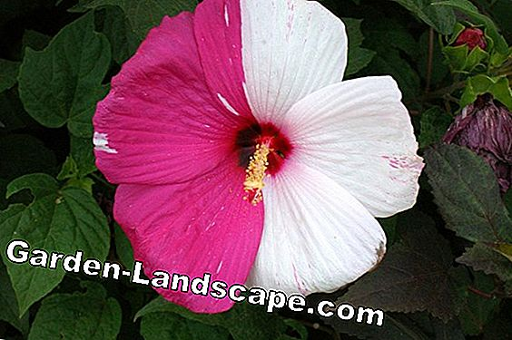 Hibiscus: Winter hardy or not?