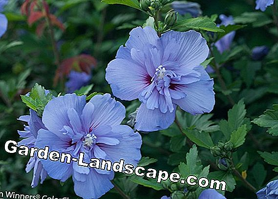 Hibiscus Hedge: Tips for planting and care