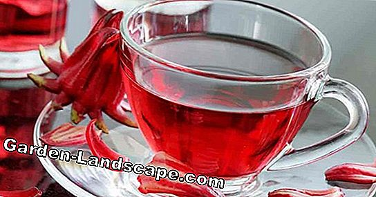 Hibiscus tea: health from the cup