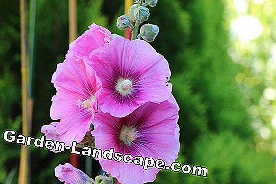 Hollyhocks, Alcea rosea - diseases and pests