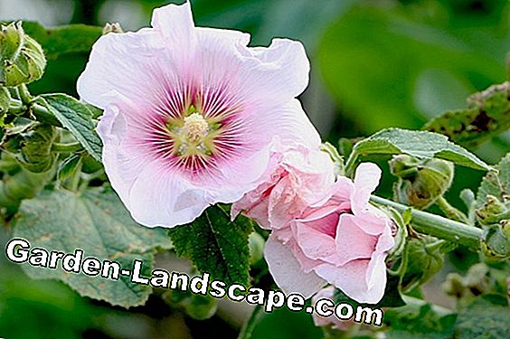 Hollyhock cultivation - planting time, seeds and sowing