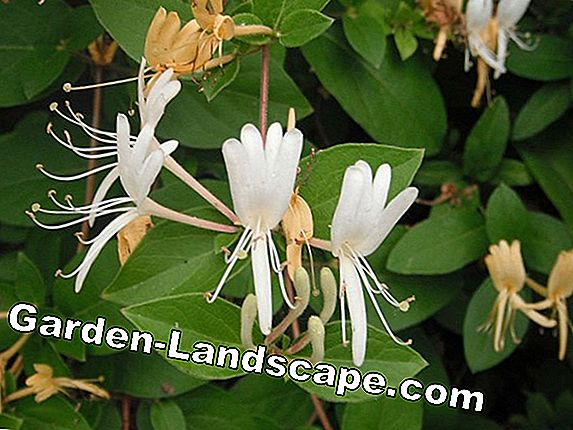 Honeysuckle, honeysuckle, Lonicera - care and cutting