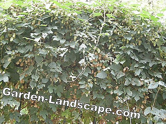 Hops (Humulus lupulus) - care and cultivation