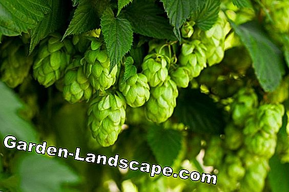 Grow hops plants yourself - care and information on hop harvesting