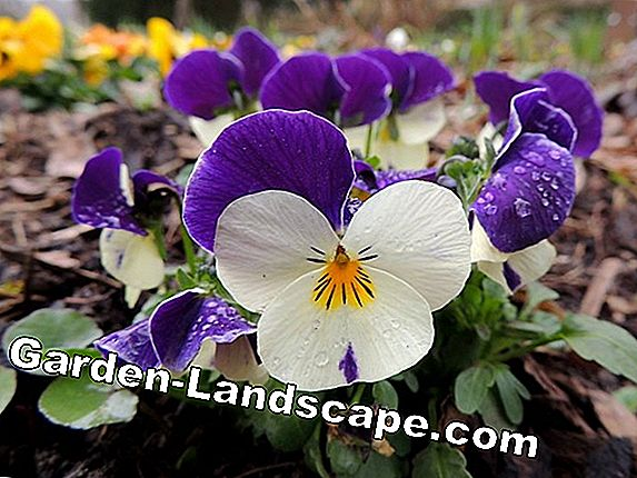 Horn violet, viola cornuta - care and wintering