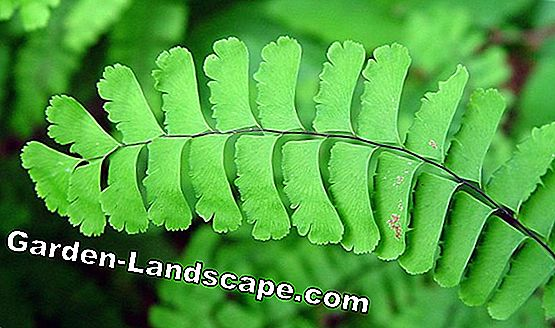 Horseshoe fern, Adiantum pedatum - care of peacock fern