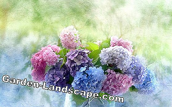 How high are hydrangeas? Information on sizes and growth per year