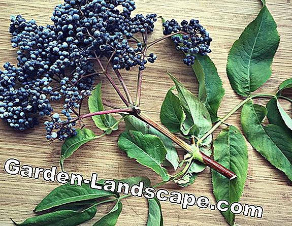 How poisonous are elderberries really?
