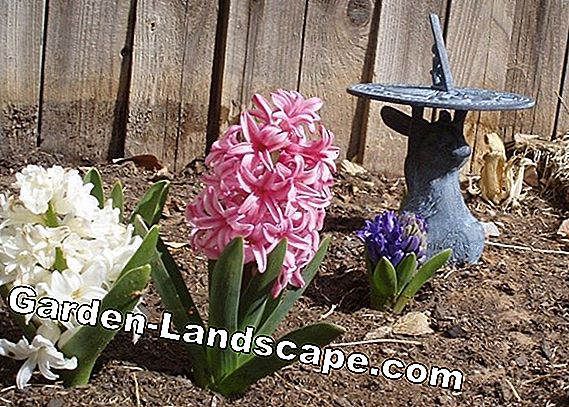 Hyacinths - plants, care and wintering