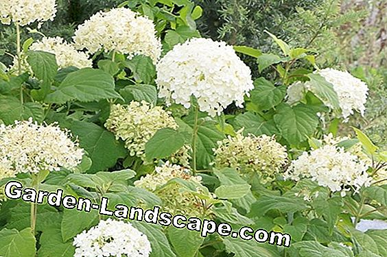 Hydrangea Annabelle: Care and cutting of the snowball hydrangea