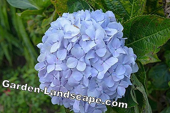 Hydrangea Endless Summer® - Care and Hibernation