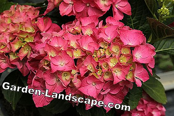 Hydrangea Forever and Ever® - care and cutting