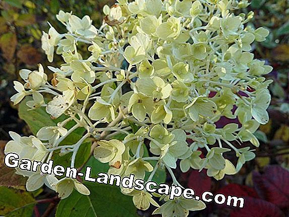 Hydrangeas successfully multiply by cuttings / sinkers