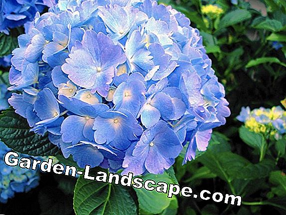 Fertilize hydrangeas properly
