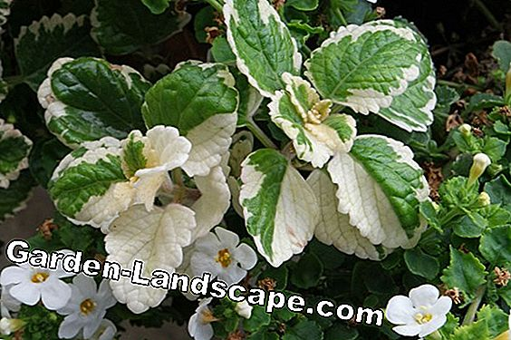 Frankincense plant, Plectranthus coleoides - care of the frankincense