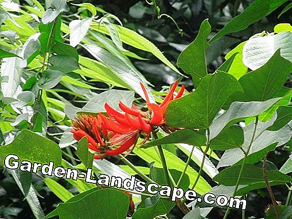 Indian coral tree, Erythrina variegata - care