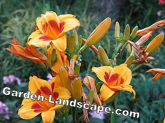 Indian flower tube (Canna indica) - care