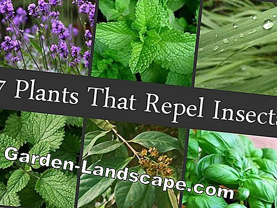 Fly repellent - these plants and herbs keep away flies