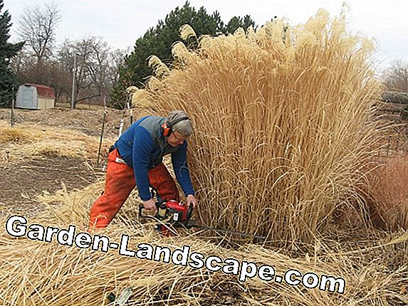 Instructions for cutting popular grasses and ornamental grasses