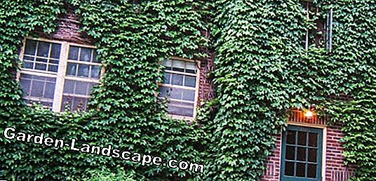 Remove ivy from house walls and trees