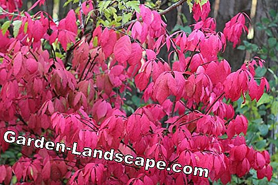 Japanese Maple, Red and Japanese Maple - Nursing Guide