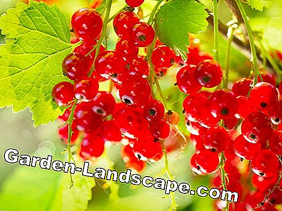 Plant redcurrants properly