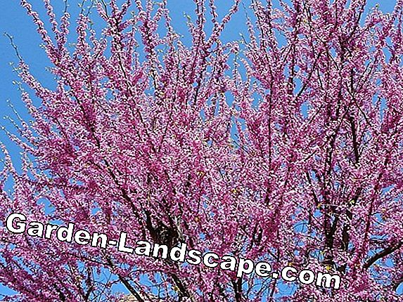 Judas Tree - care and wintering