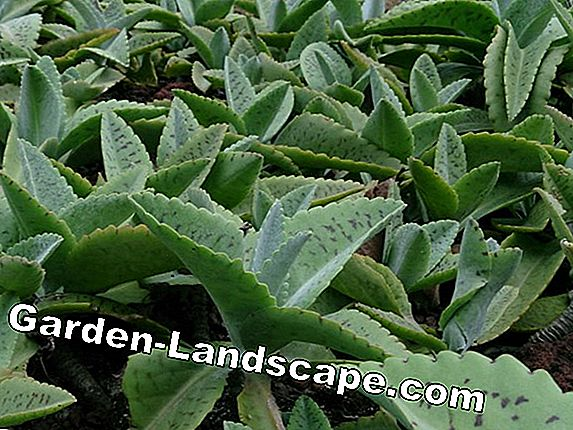 Kalanchoen - species, care of the leaf Kalanchoe
