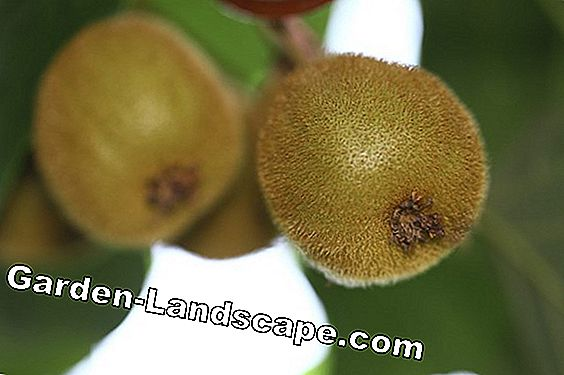 Kiwi tree care: location, plants and wintering
