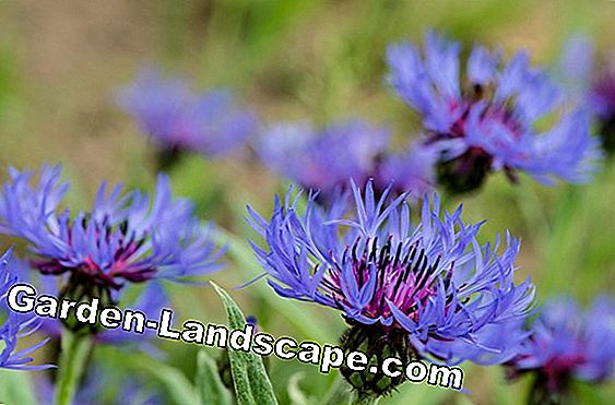 Knapweed, mountain and snowflake flower - care in the garden