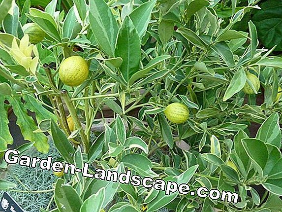 Kumquat tree - care instructions and help with leaf loss