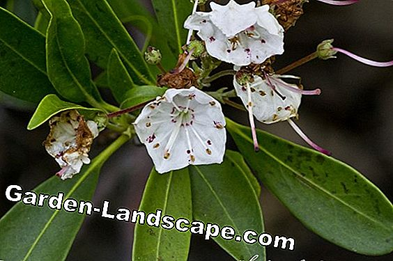 Laurel rose, Kalmia latifolia - Location and care of mountain laurel
