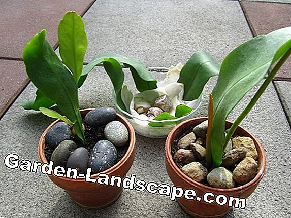 Leaf cactus, Epiphyllum - care and wintering