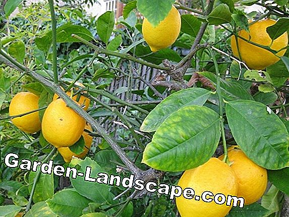 Lemon plants: Basics of care explained understandable