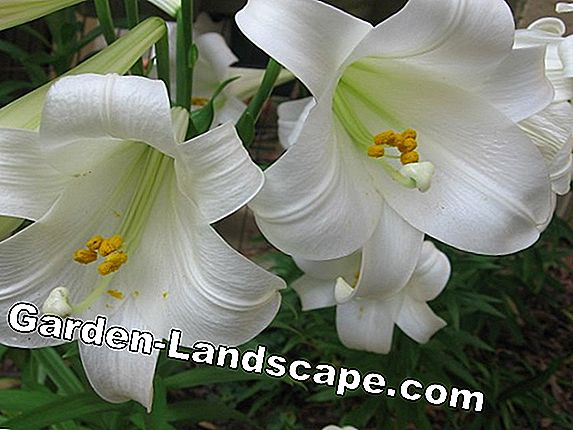 List of lilies and colors - info about Lilium