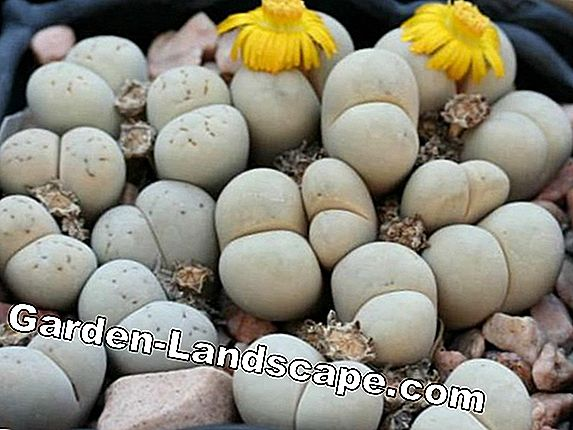 Living stones, Lithops - varieties and care