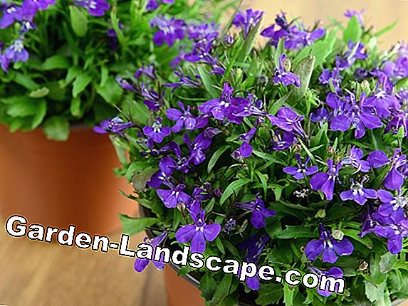 Men loyal, lobelia - care and wintering