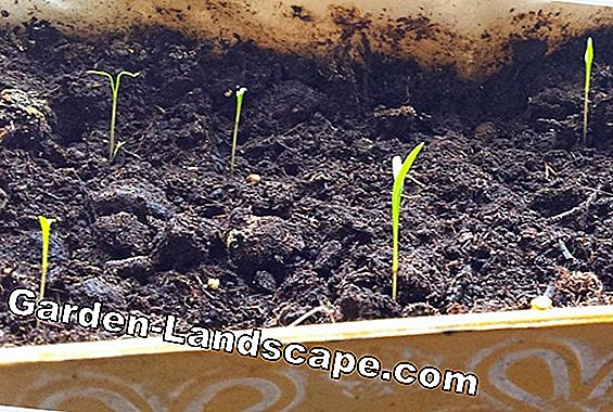 Lupins in the garden - sowing, location, care and propagation