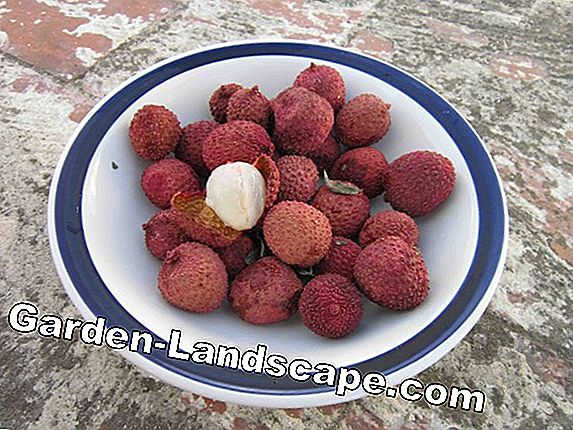 Pull lychee out of seeds - litchi breed in 8 steps