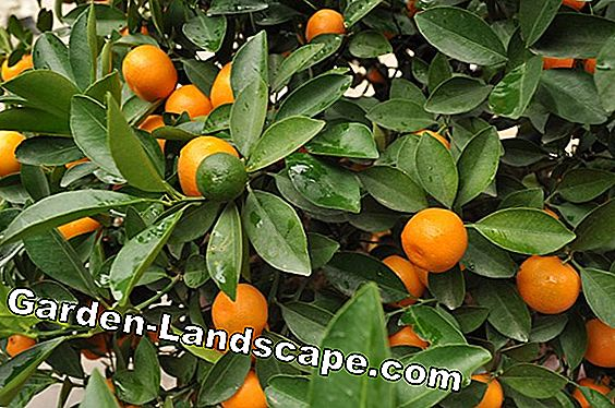 Tangerine tree - care, cutting and wintering